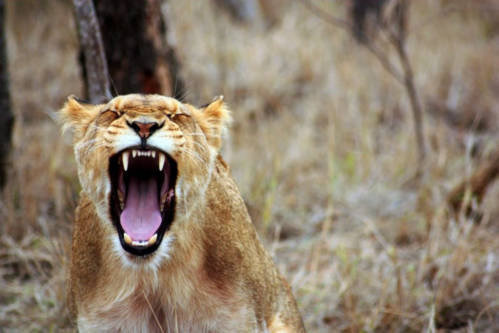 tiger with mouth open in mid-roar